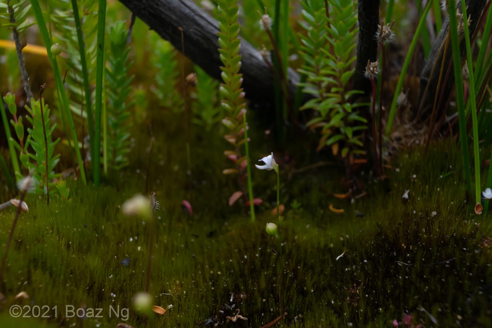 Utricularia lateriflora Species Profile