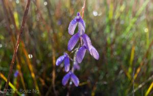 Utricularia leptoplectra Species Profile