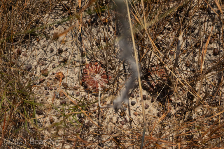 Drosera brevicornis Species Profile