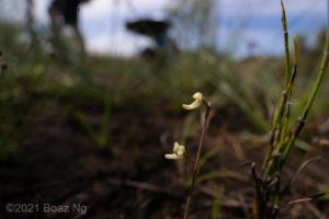 Utricularia limosa Species Profile