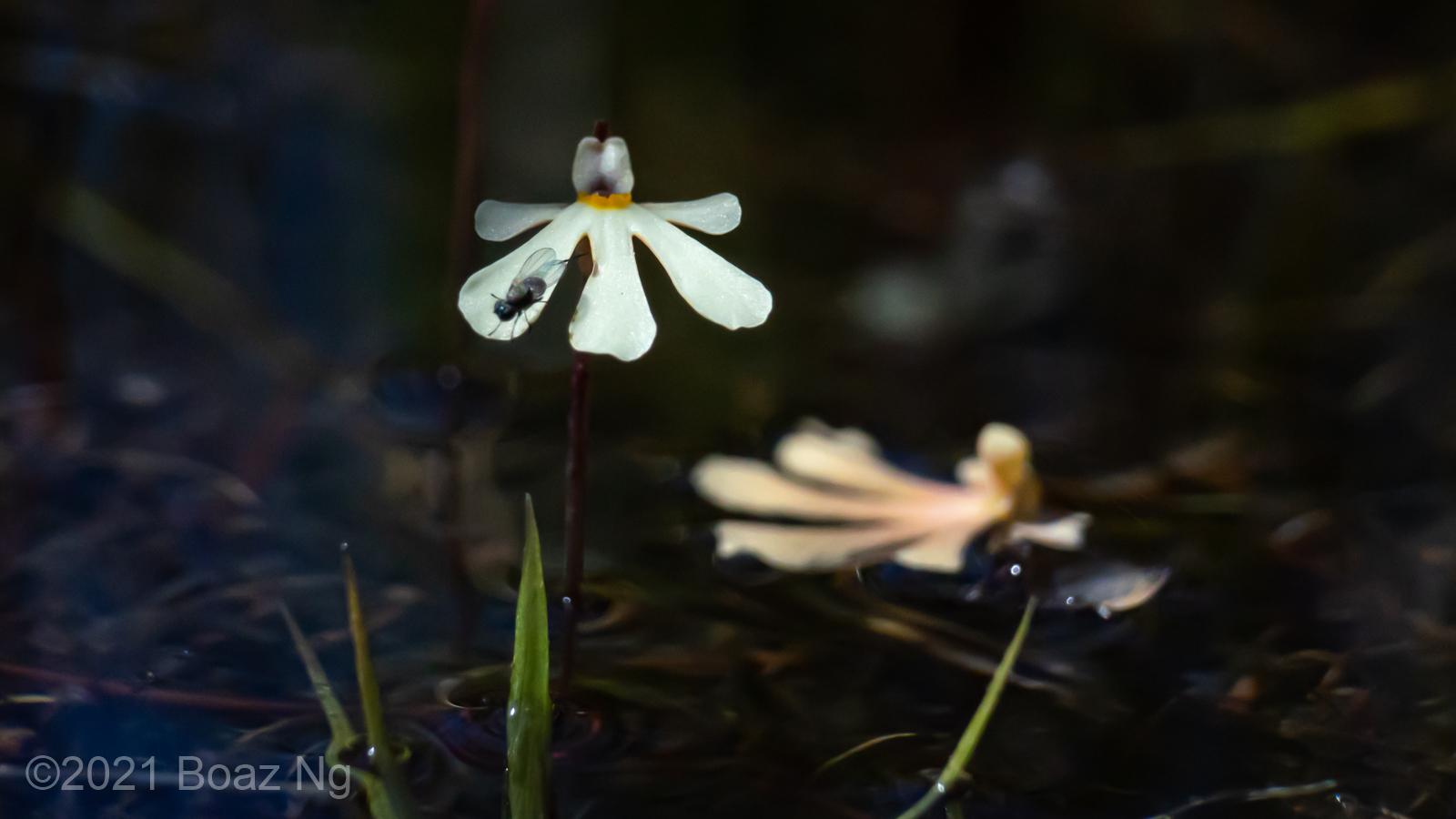 Utricularia holtzei Species Profile