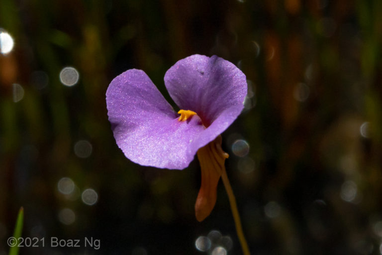 Utricularia lasiocaulis Species Complex