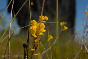 Utricularia odorata Species Profile