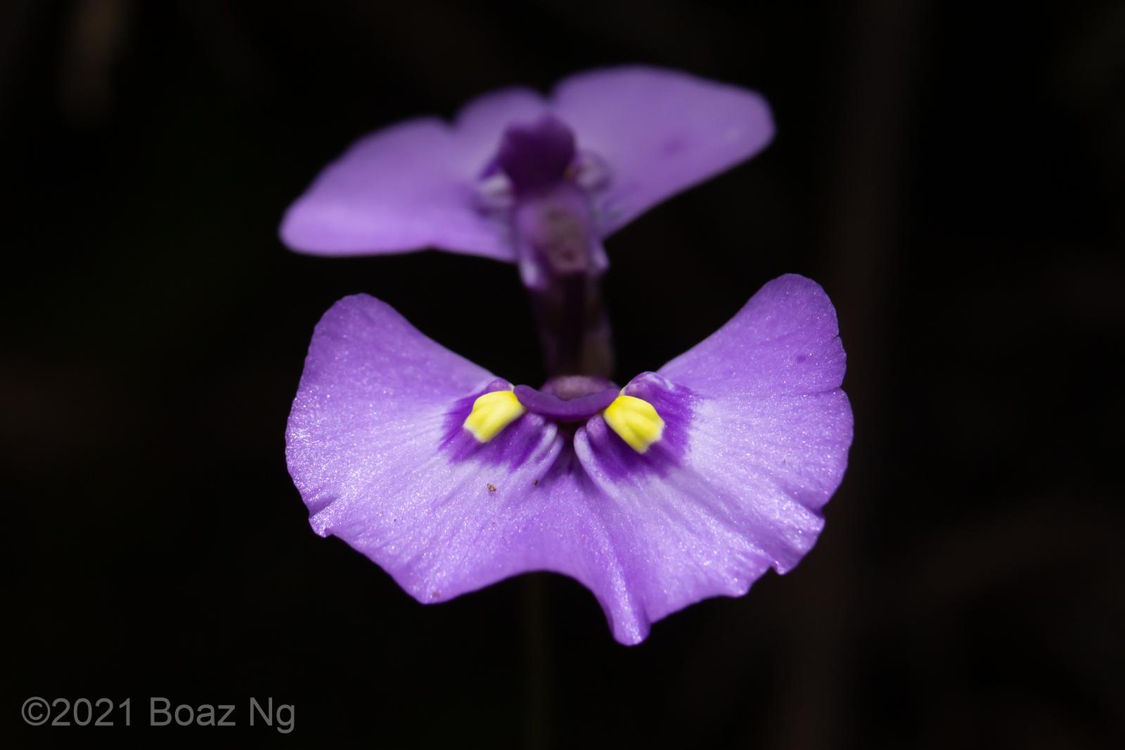 Utricularia dichotoma subsp. aquilonia
