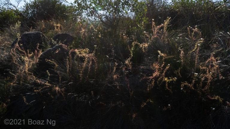 Drosera macrantha in the Perth Hills