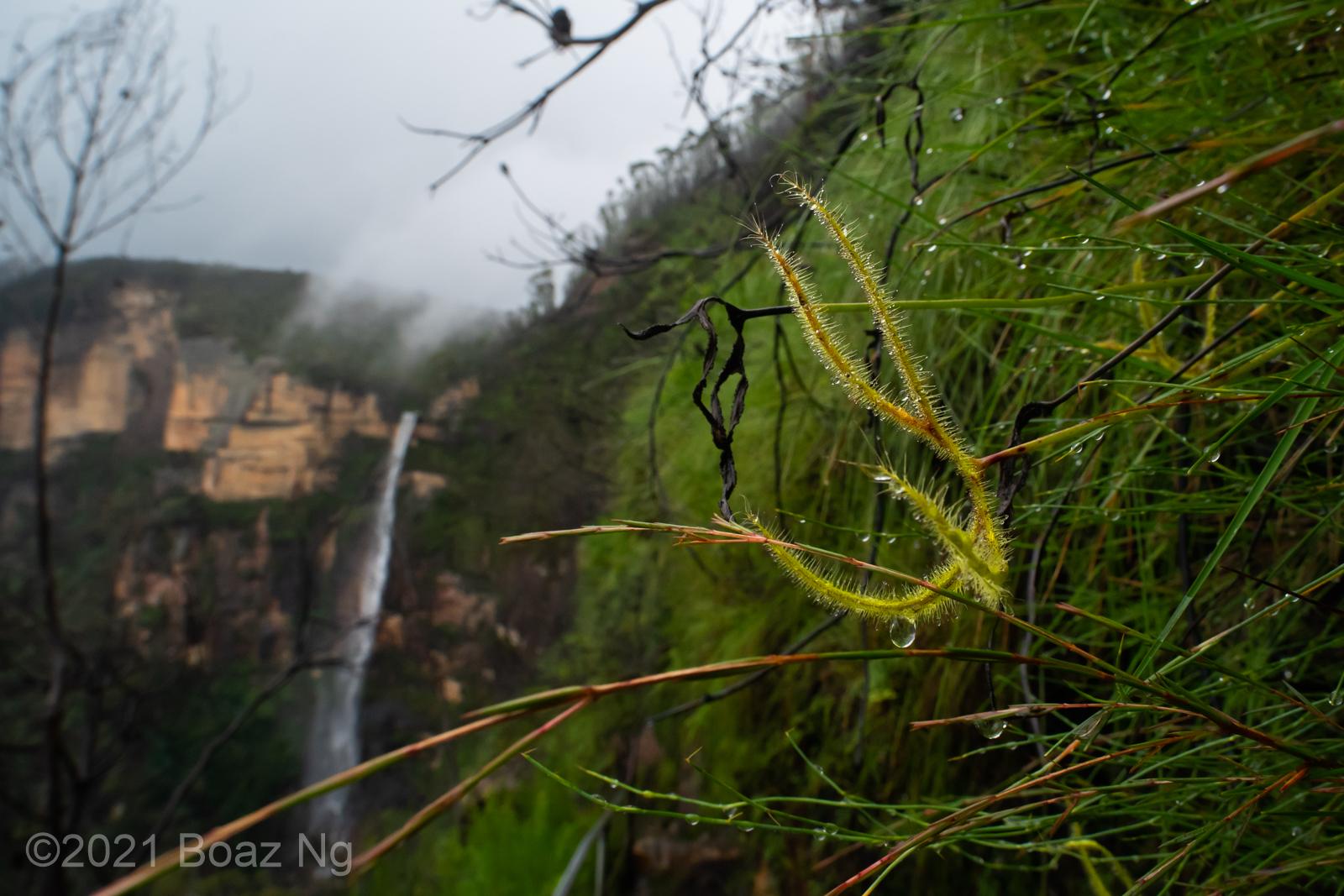 Drosera binata – Blue Mountains